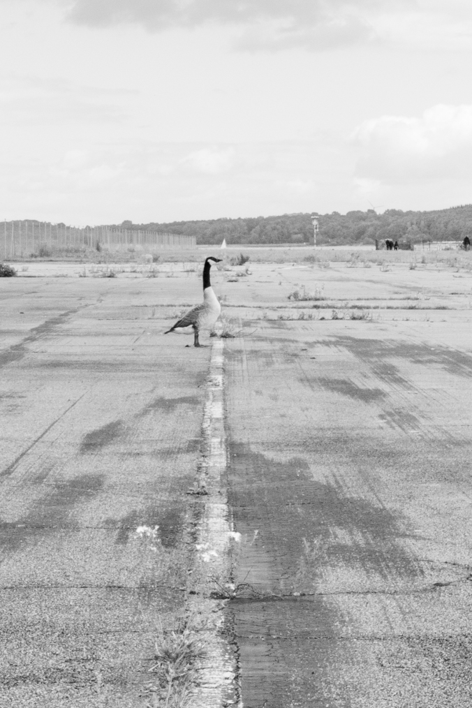 Mona Dee photography  geese